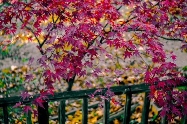 Fall Foliage Color Maple Red Leaves Decor|Wall Decor fleblanc