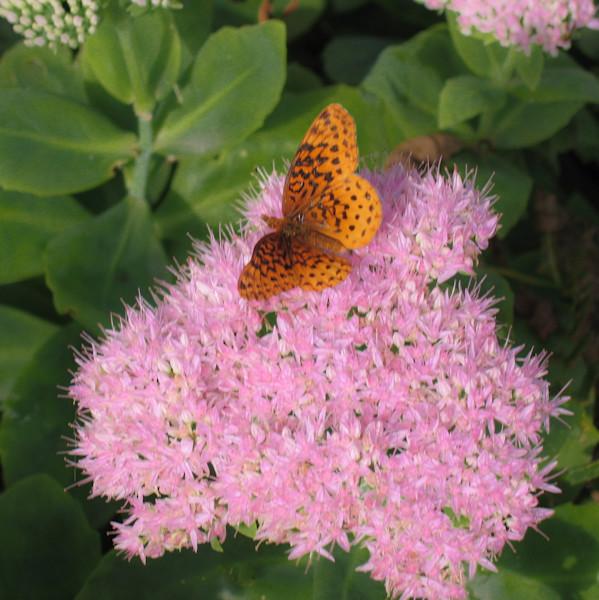 Butterfly on a sedum blossom