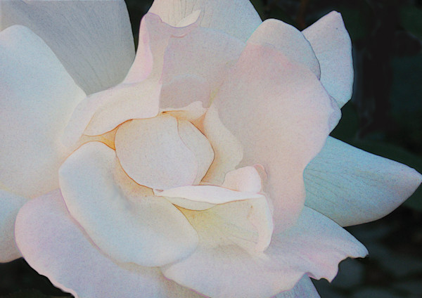 White rose enhanced. I love the subtle colors.