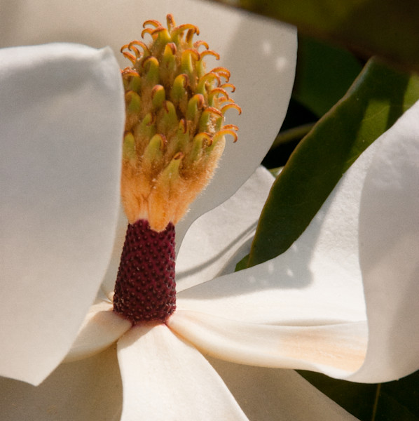 Magnolia bloom.