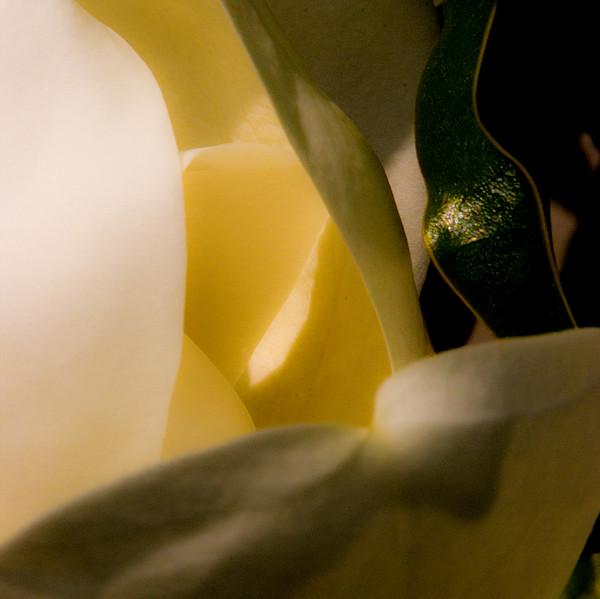 A magnolia blossum with interesting light.