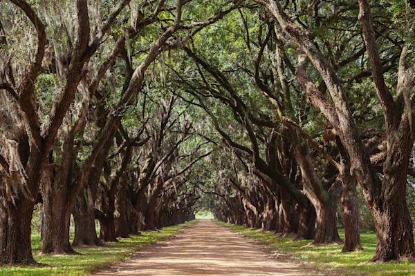 Evergreen Oak Alley