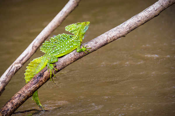 Jesus Lizard in the Central American Rainforest. Fine Art Image.