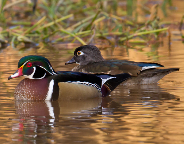 Waterfowl photographs - fine art prints on canvas and paper