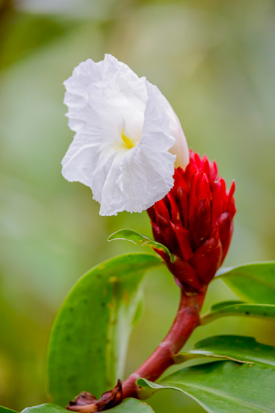 Flower in bloom in Rainforest.