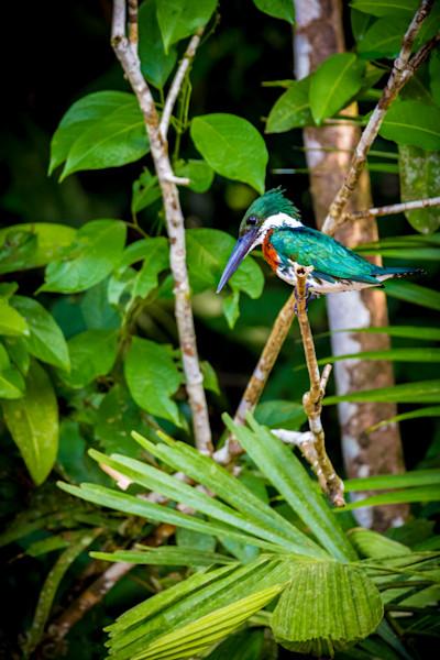 King Fisher bird in Costa Rica.