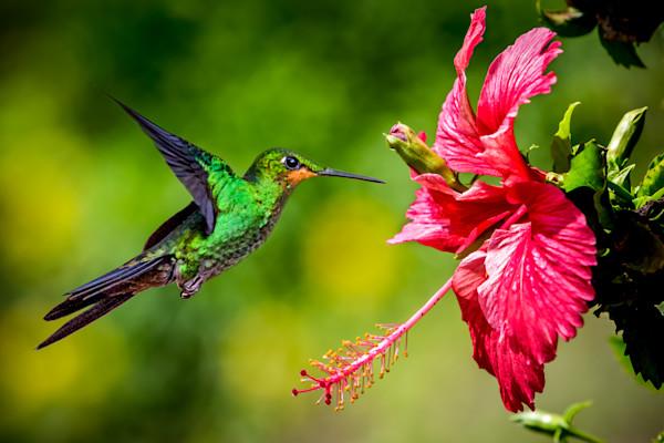 Humming Bird in flight, Costa Rica Rainforest.