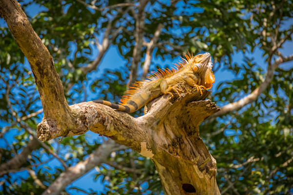 Male iguana in the Rainforest.