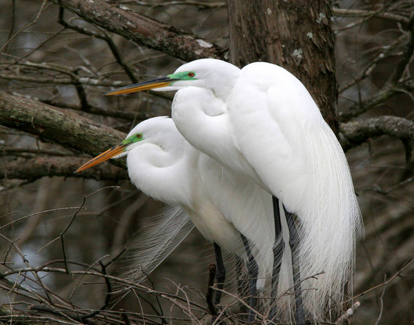 Great Egret Pair I
