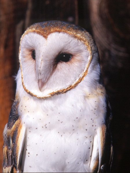 Barn Owl, by Scott Squires, Limited Edition Print