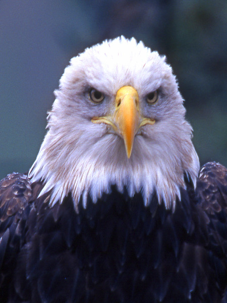 Bald Eagle Portrait, by Scott Squires, Limited Edition Print