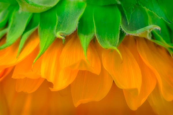 Classic Garden Sunflower Serenata Cute|Wall Decor fleblanc