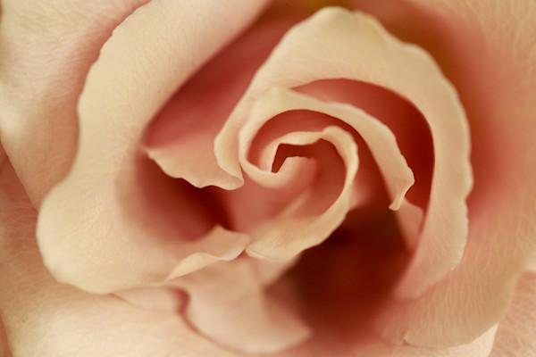 Embrace Photograph of a Rose | Susan Michal Fine Art
