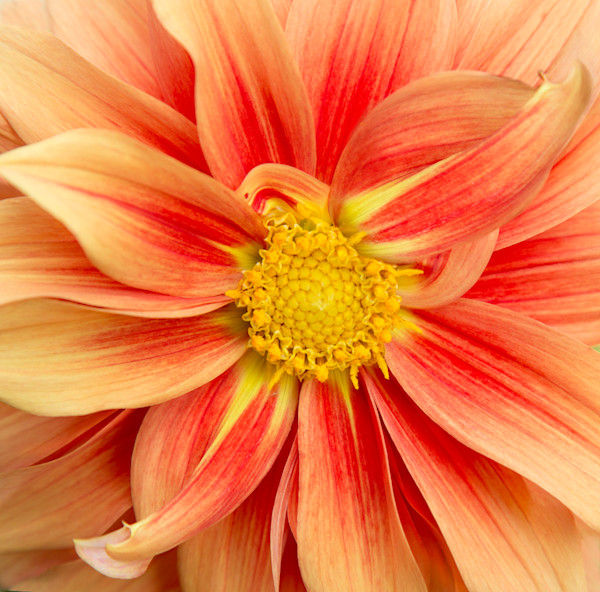 Sunburst Photograph of a Flower in Bloom | Susan Michal Fine Art