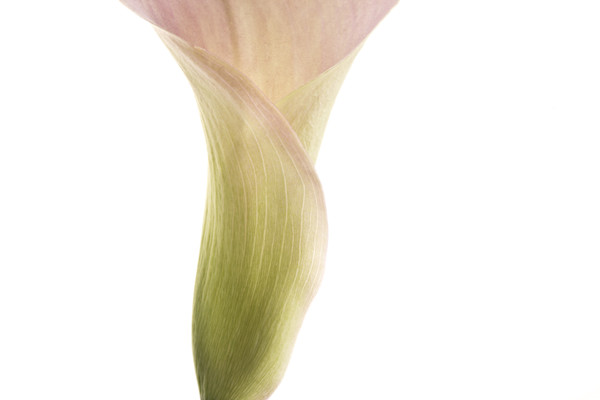 Invincible | Photograph of a Calla Lily | Susan Michal Fine Art