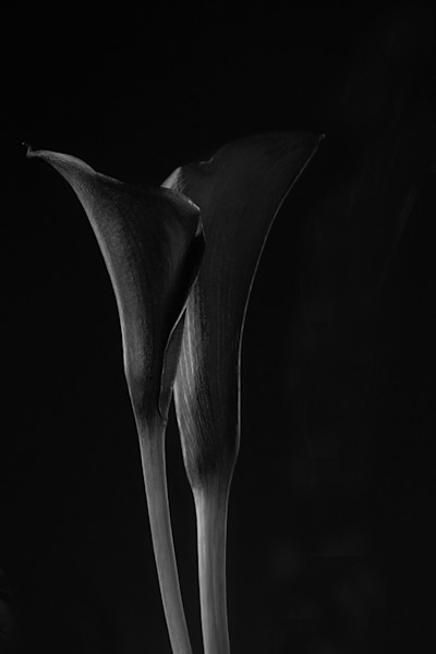Companion | Photograph of Calla Lilies | Susan Michal Fine Art