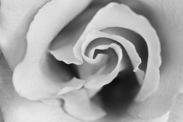 Gentle | Photograph of a Rose | Susan Michal Fine Art
