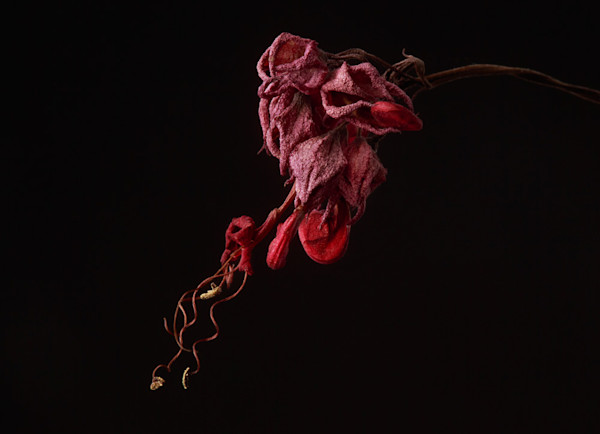 Bleeding Heart Photograph of a Wilted Bloom | Susan Michal Fine Art