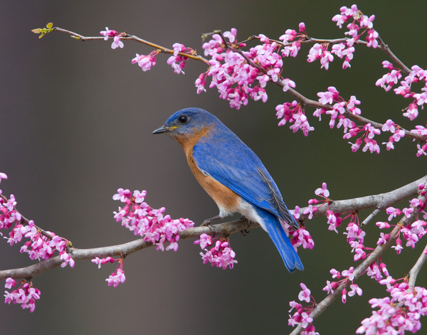Bluebird in a blooming Redbud