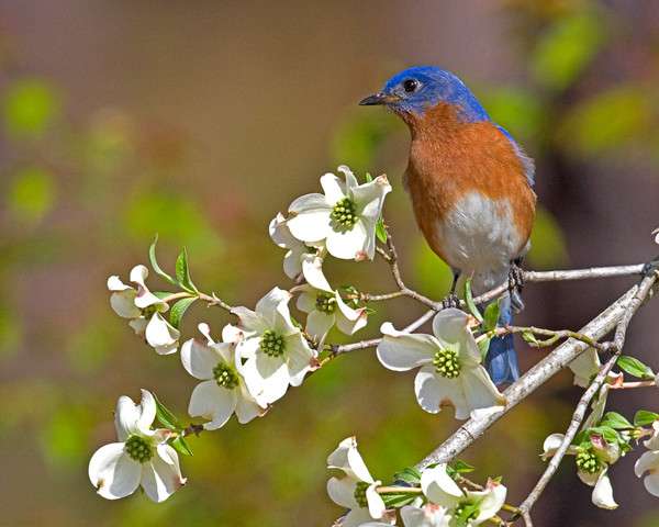 Eastern Bluebird in Mayhaw