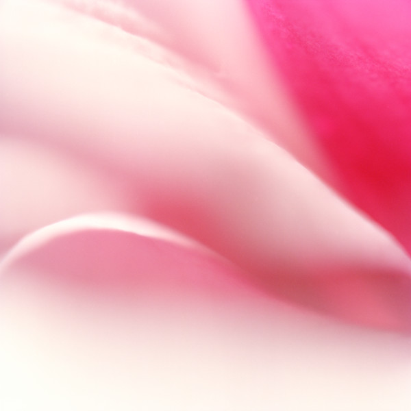 Pink rose photograph for sale by Yvonne Boyd