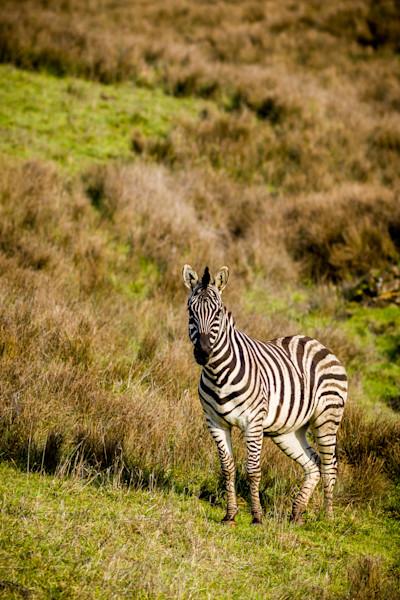 Zebra at the Winson Wildlife Safari in Oregon