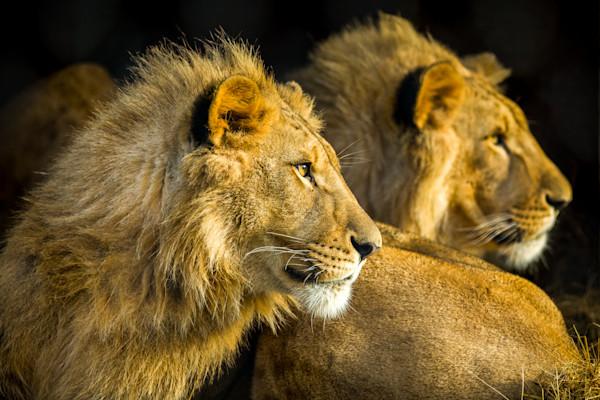 Resting Lions-8274
