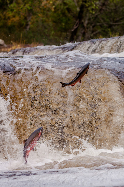 Spawning Jumping Salmon on the river