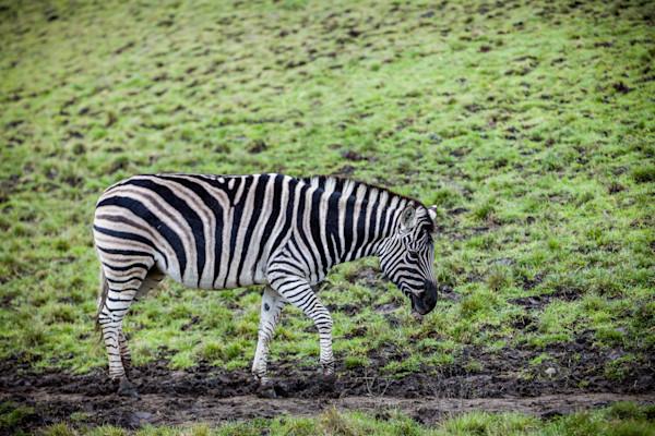 Zebra at the Winson Wildlife Safari in Oregon.