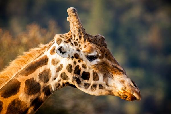 Giraffe at the Winston Wildlife Safari.