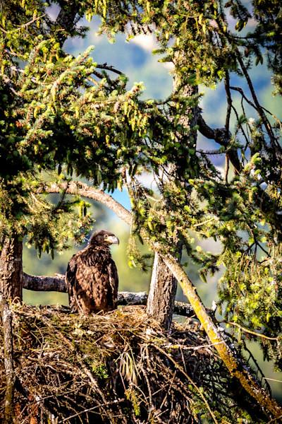 Skinners Butte Nesting Eagle