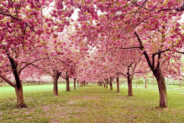 Hall of Cherries