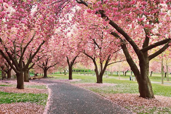 """""""Cherry Path"""" Brooklyn NY Botanic Garden cherry trees photograph"""