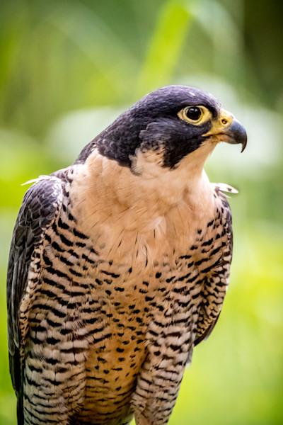 Falcon, Bird of Prey