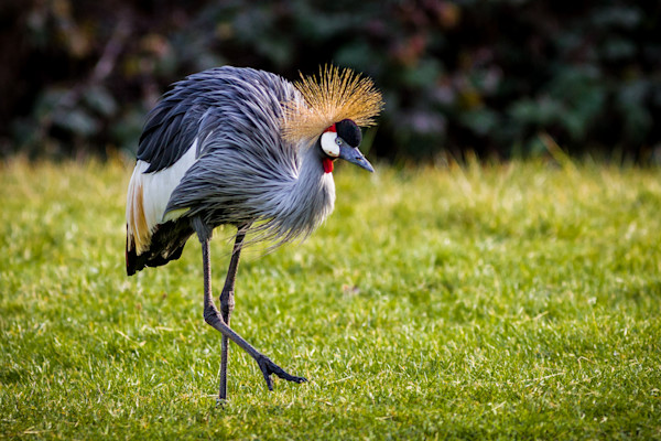 African Bird Walking-8264