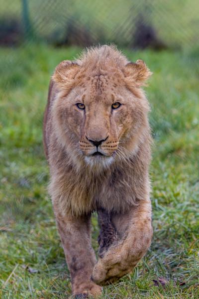 Lion at Winston Wildlife Safari