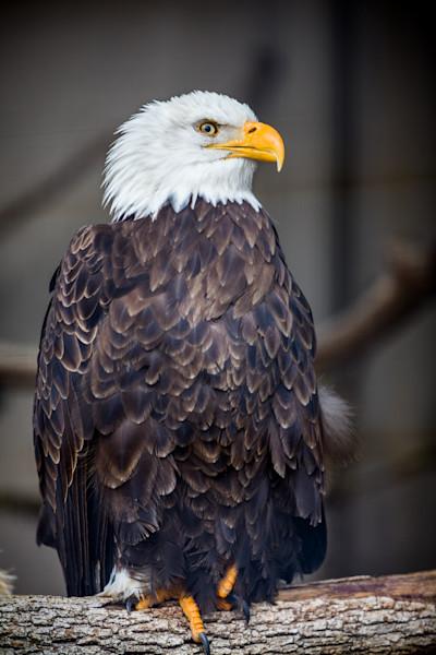 Bald Eagle-8196