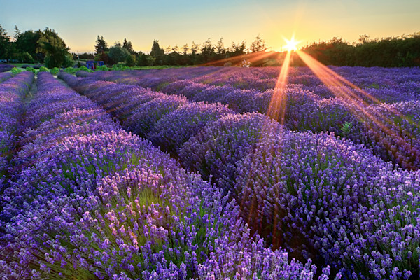 """Jardin du Soleil"" Fine art Olympic Peninsula, Sequim, Washington lavender farm photograph"