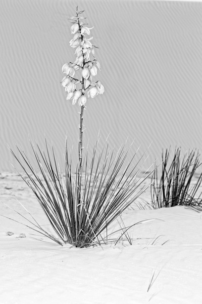 White Sands Yucca In Bloom photograph for sale as art.