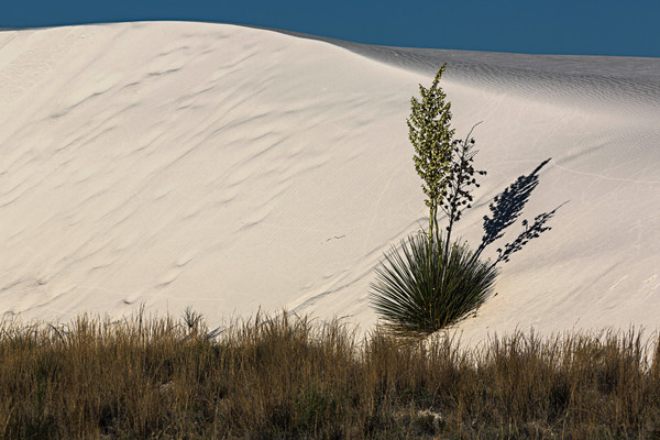 Blooming Yucca and Shadow photograph for sale as art.