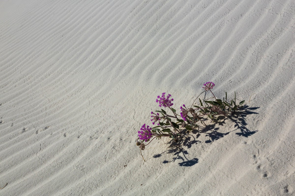 White Sands Pink Sand Roses photograph for sale as art.