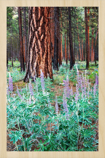 Metolius Lupine II (161483NWND8-P) Maple Wood Print for Sale as Fine Art Photograph