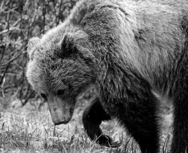 Grizzly Strength I, Banff