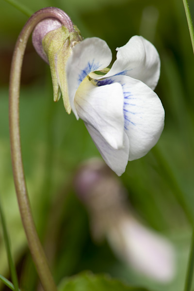 Wild White Violets photograph for sale as Fine Art