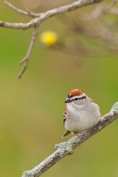 Male Chipping Sparrow photograph for sale as Fine Art.