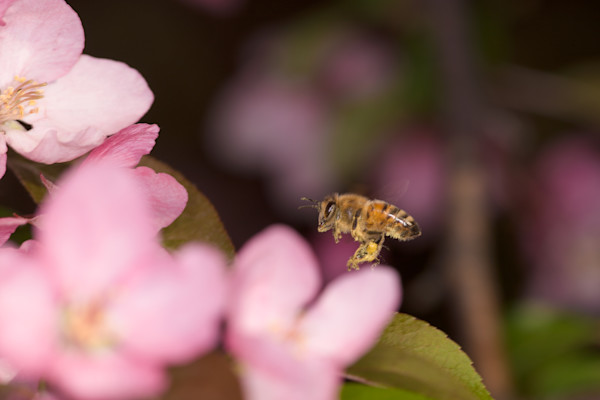 Honey Bee and Crabapple photograph for sale as Fine Art.