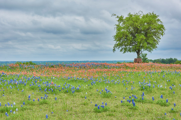 Bluebonnets and Paintbrush