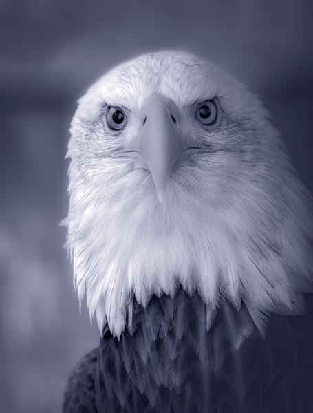Bird Prey Bald Eagle USA wildlife symbol|Wall Decor fleblanc