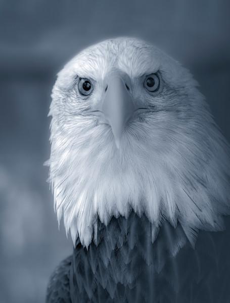 Bird Prey Bald Eagle USA wildlife falcon|Wall Decor fleblanc