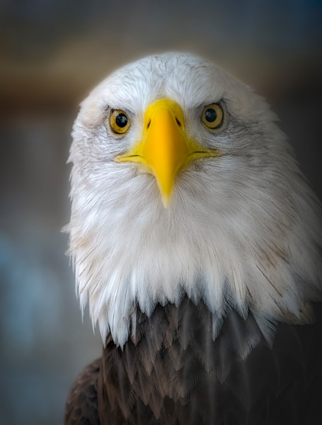 Bald Golden Eagle Birds Butterflies Bird of Prey Hawk Owl Falcon fleblanc